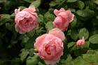 Englische Rose Brother Cadfael von David Austin