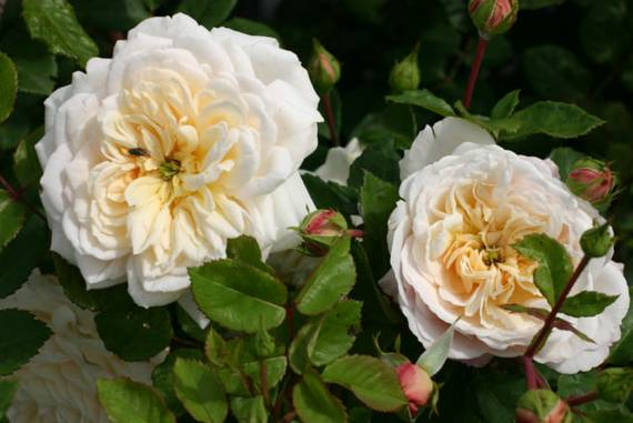 rose maxima alba blütengröße