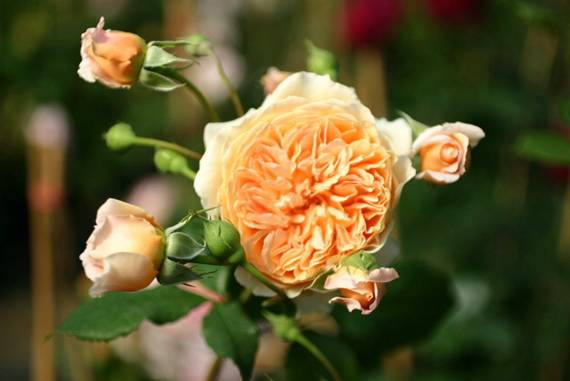 Englische Rose: Crown Princess Margareta
