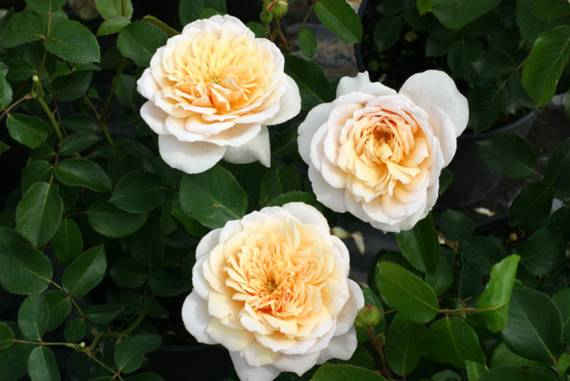 Englische Rose: English Garden