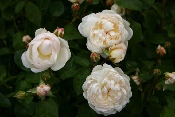 glamis castle englische rosen kaufen. Black Bedroom Furniture Sets. Home Design Ideas