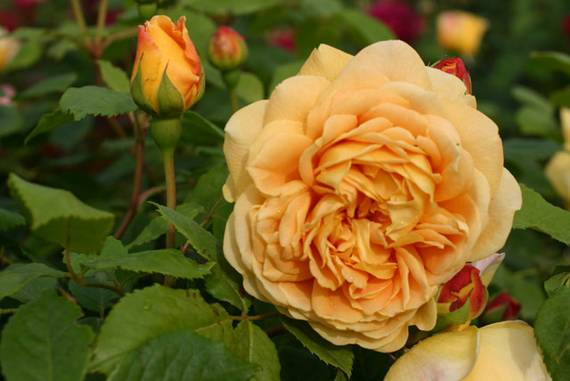 Englische Rose: Golden Celebration
