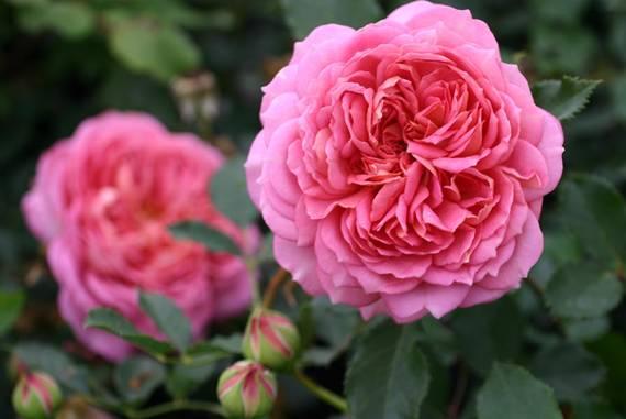 jubilee celebration englische rosen kaufen. Black Bedroom Furniture Sets. Home Design Ideas