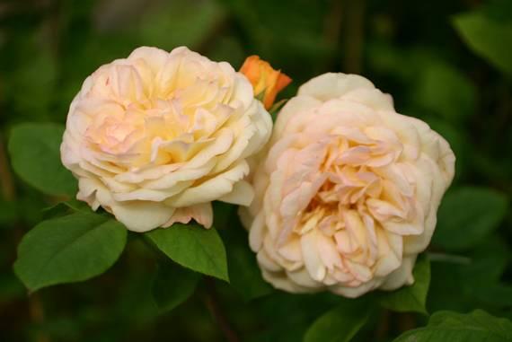 yellow charles austin englische rosen kaufen. Black Bedroom Furniture Sets. Home Design Ideas
