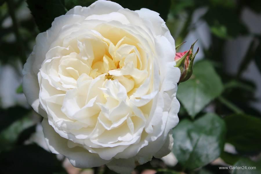 winchester cathedral roses garden design ideas. Black Bedroom Furniture Sets. Home Design Ideas