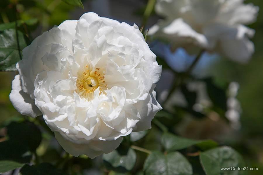 Faszinierende Welt der Rosen - cover